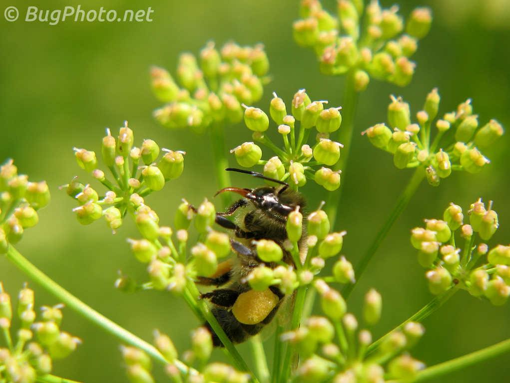 Honeybee feeding on parsley