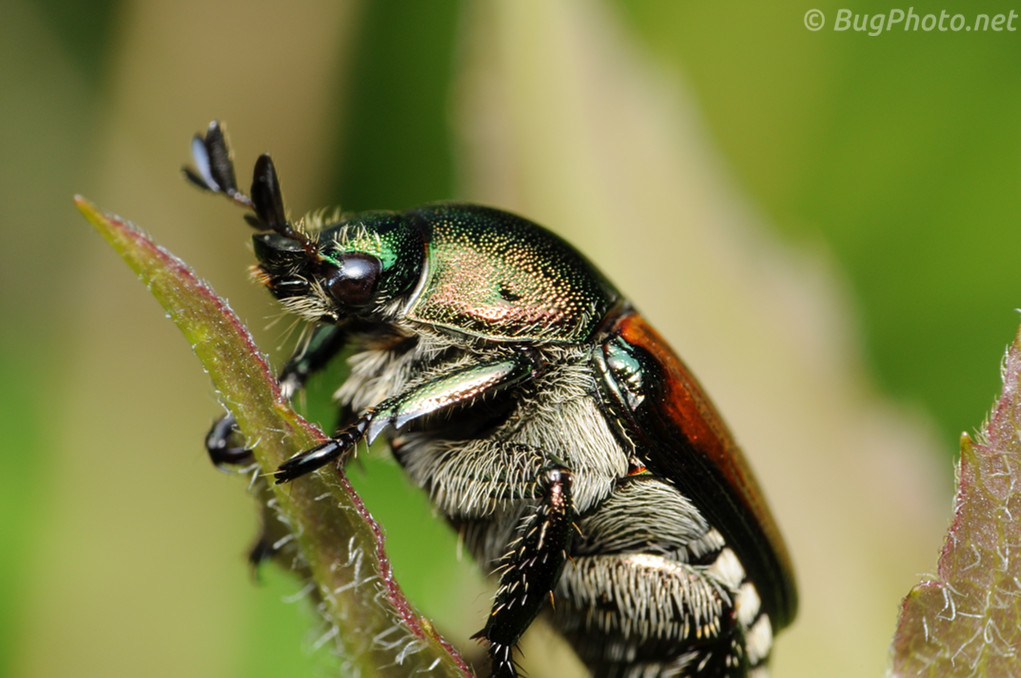 Japanese Beetle on a stalk