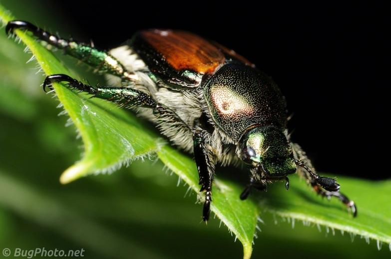 Japanese Beetle at rest on a leaf