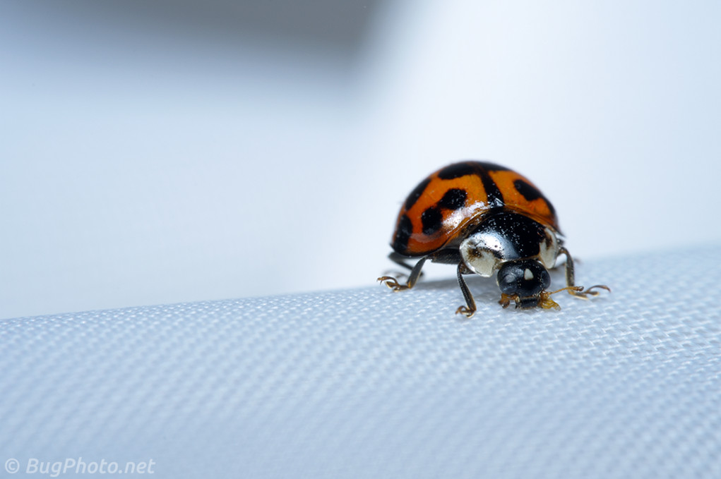 Ladybird Beetle on Sheer Curtain