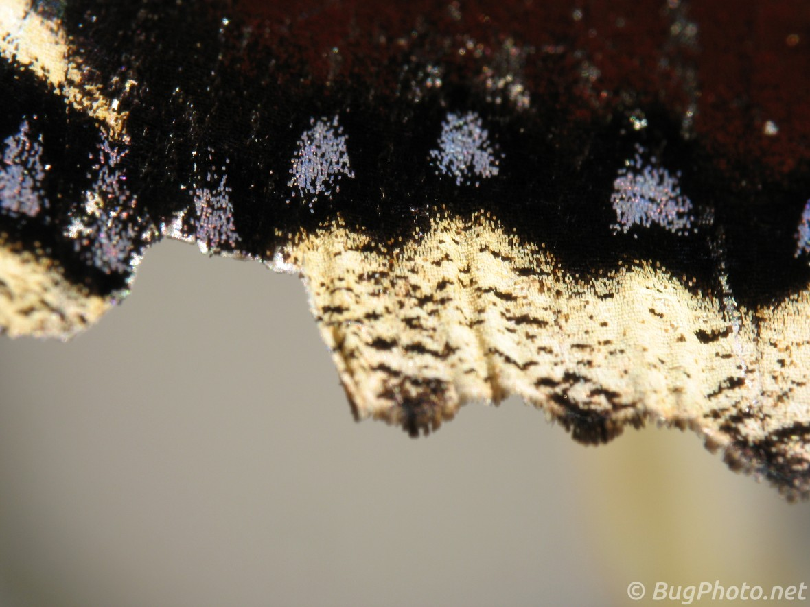 Mourning Cloak Butterfly Scales