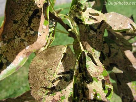 Pear Slug Sawfly Larva