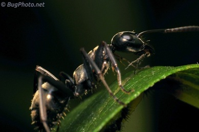 Ant with alien larvae (possibly planthoppers)