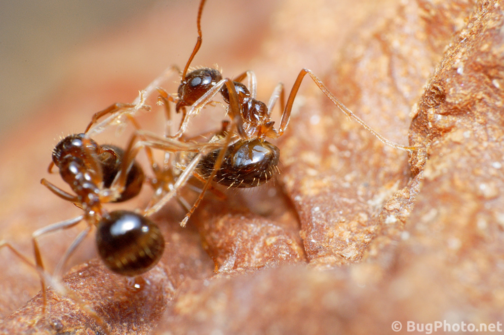 Ants Fighting, One Abdomen Poised As If To Sting, on Rotting Pear