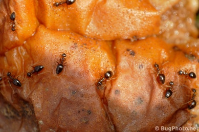Numerous Ants on a Rotting Pear