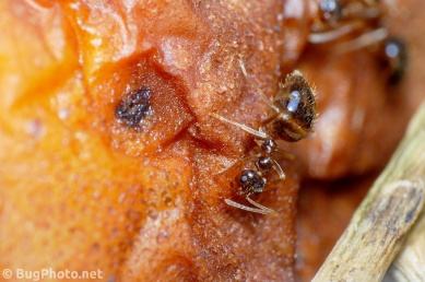 Ant on Rotting Pear