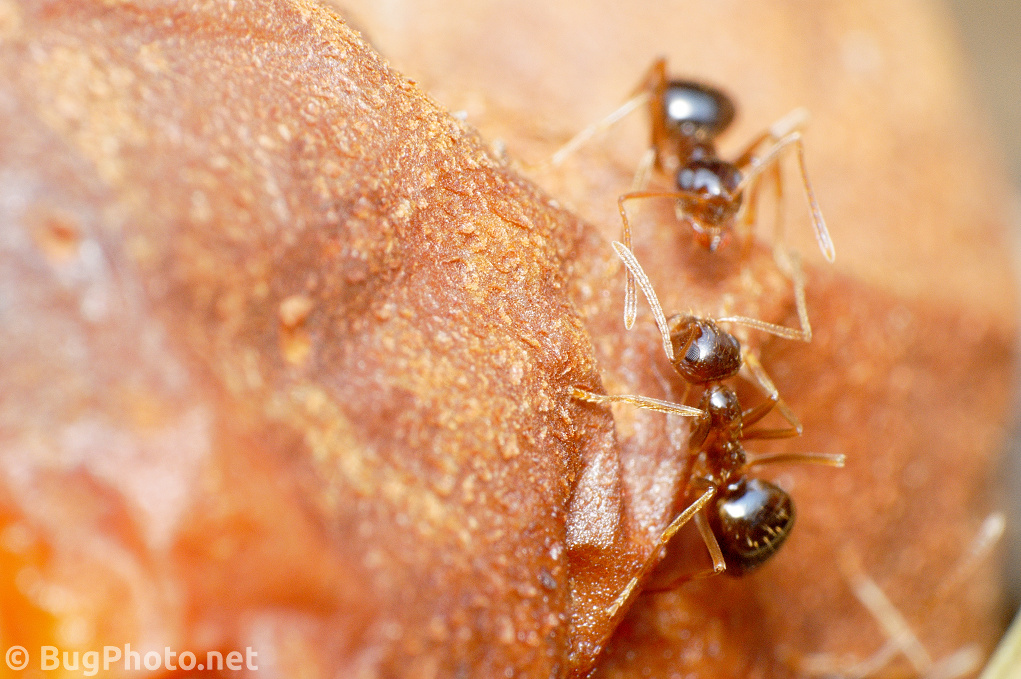 Ants on Rotting Pear