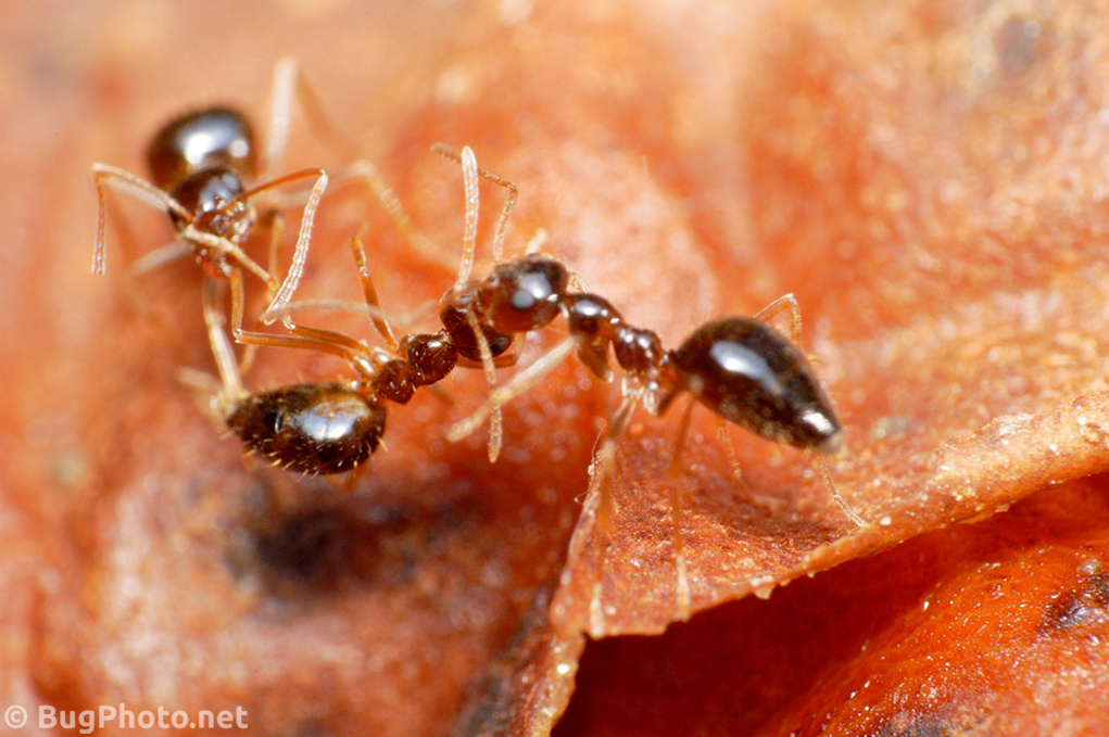 Two Ants Attacking Another Ant