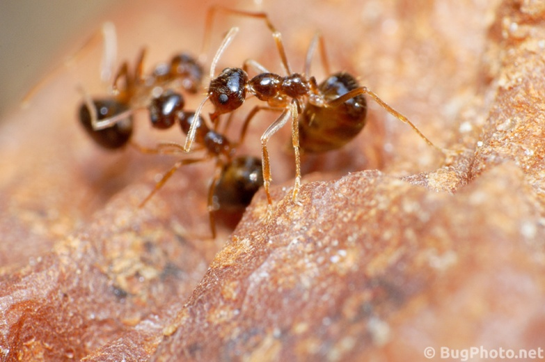 Ants Fighting on a Rotting Pear