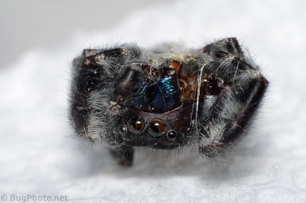 Corpse of Phiddipus audax jumping spider
