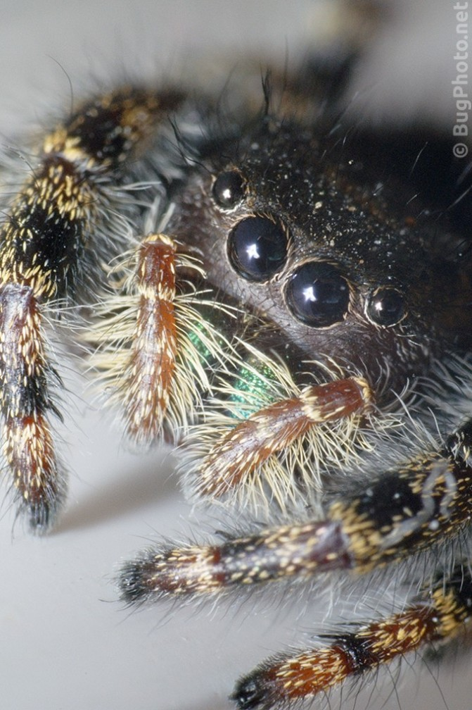 Super close-up of Phiddipus audax jumping spider