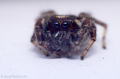 immature Phiddipus audax jumping spider