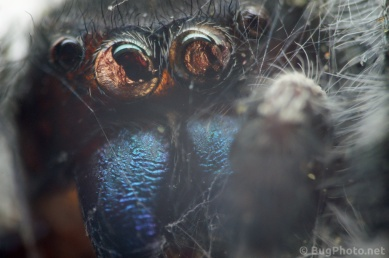 Super close up of Corpse of Phiddipus audax jumping spider