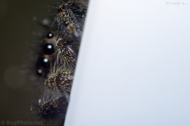 Phiddipus audax jumping spider