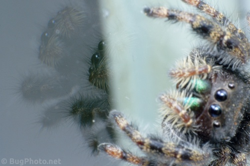 Reflection of Phiddipus audax jumping spider on Window