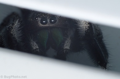 Phiddipus audax jumping spider in window crevice