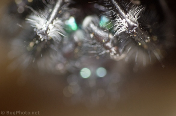 Out of focus eyes of Phiddipus audax jumping spider