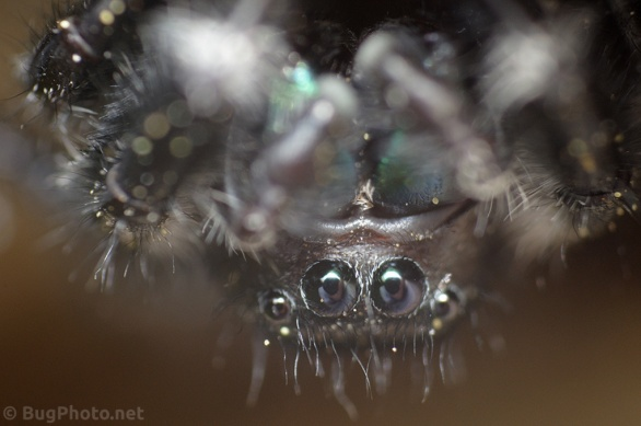 Eyes of Phiddipus audax jumping spider