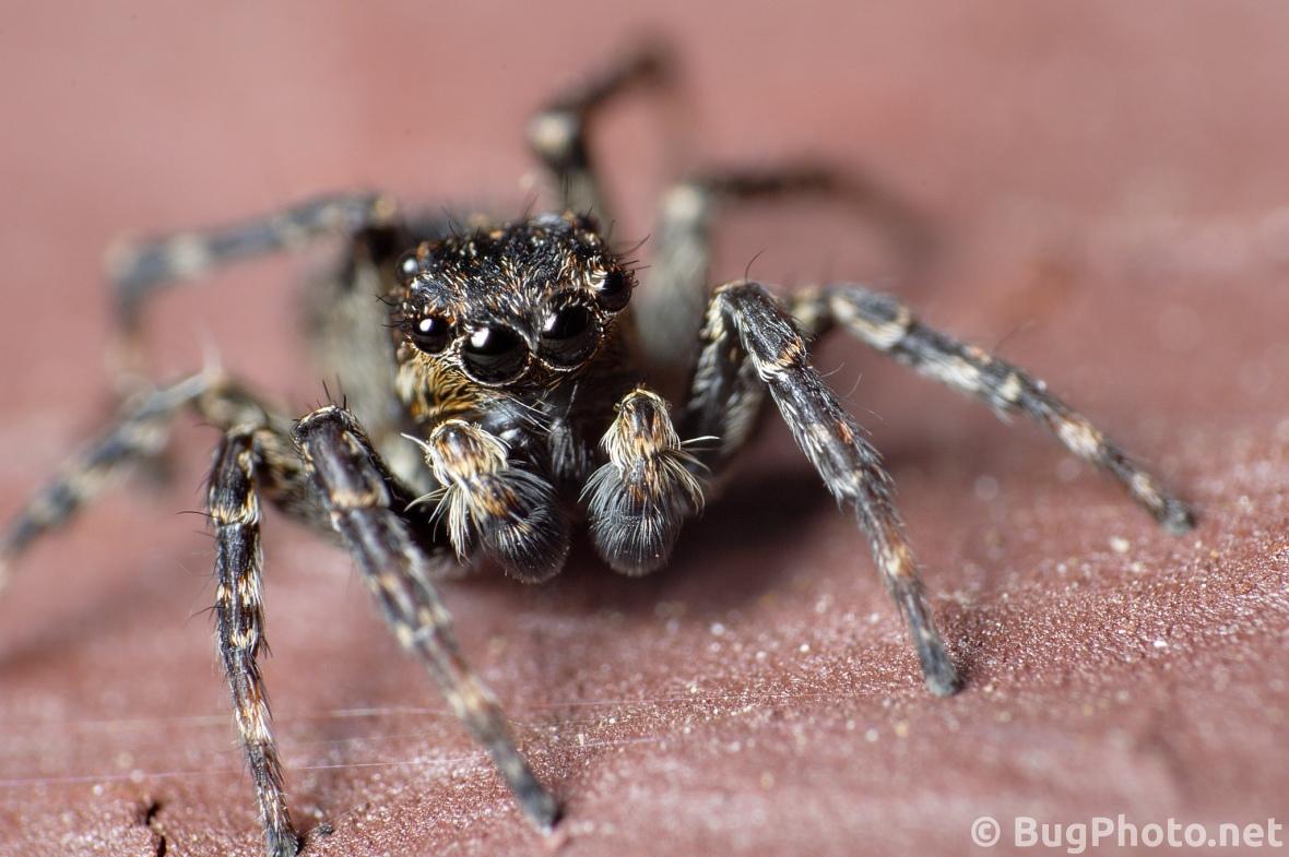 face shot of dark variation of sitticus pubescens jumping spider