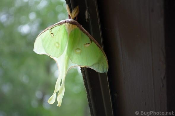 half in the light half in the shadows luna moth