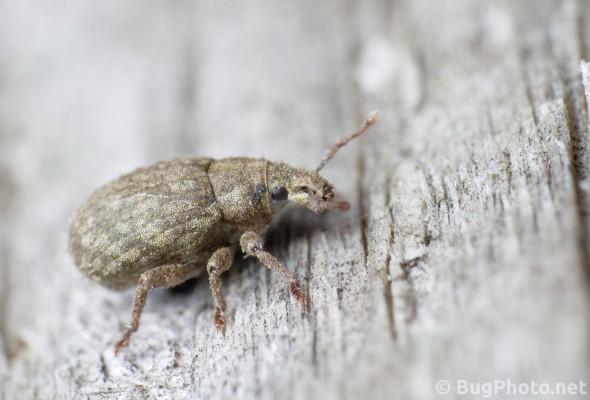 little beige or brown weevil