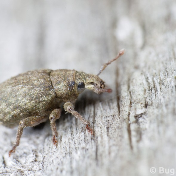 little beige or brown weevil