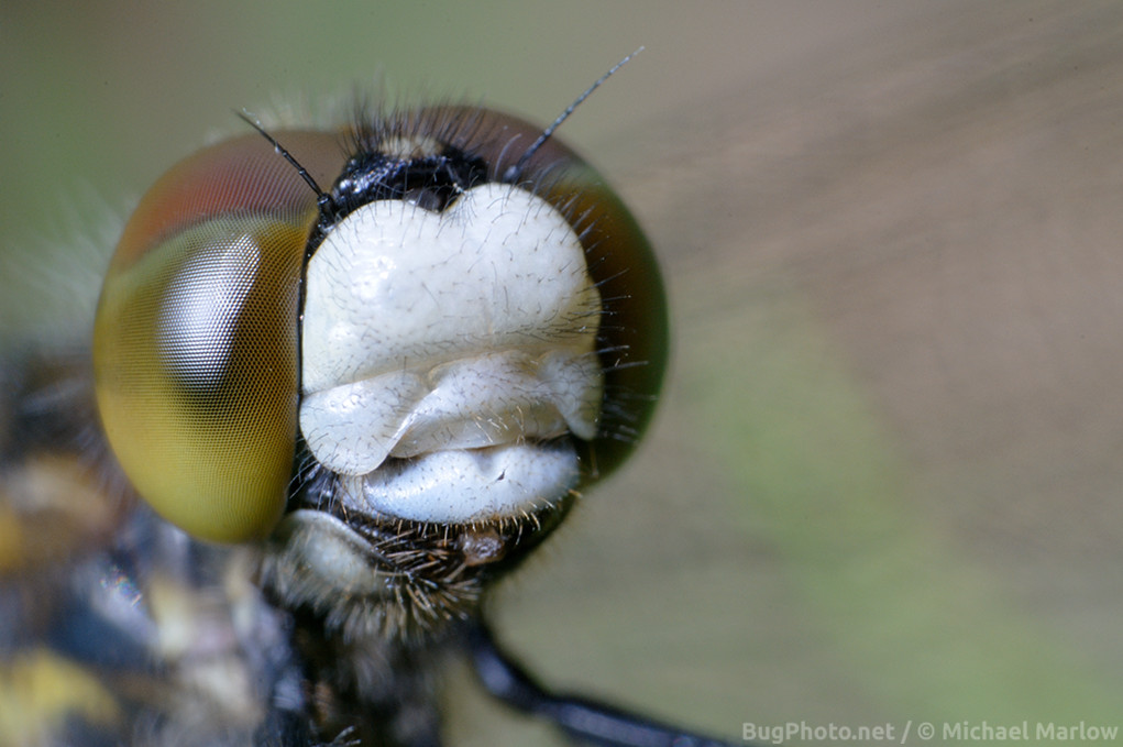 portrait of dragonfly with red and yellow eye