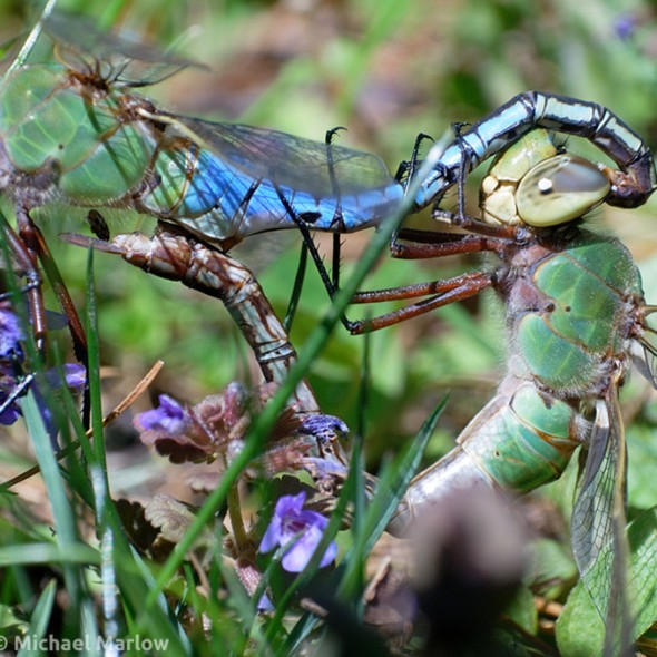 common green darners mating in the grass