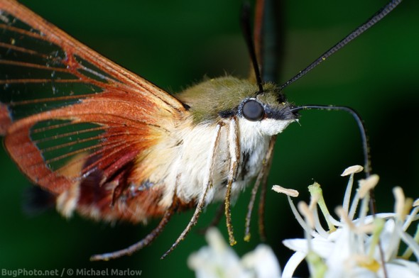 hummingbird clearwing moth feeding at flower