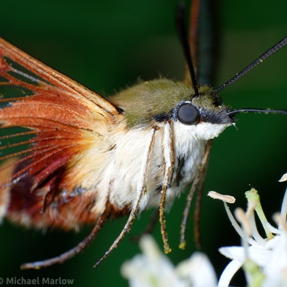 hummingbird clearwing moth feeding at flower