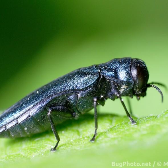 a metallic blue jewel beetle