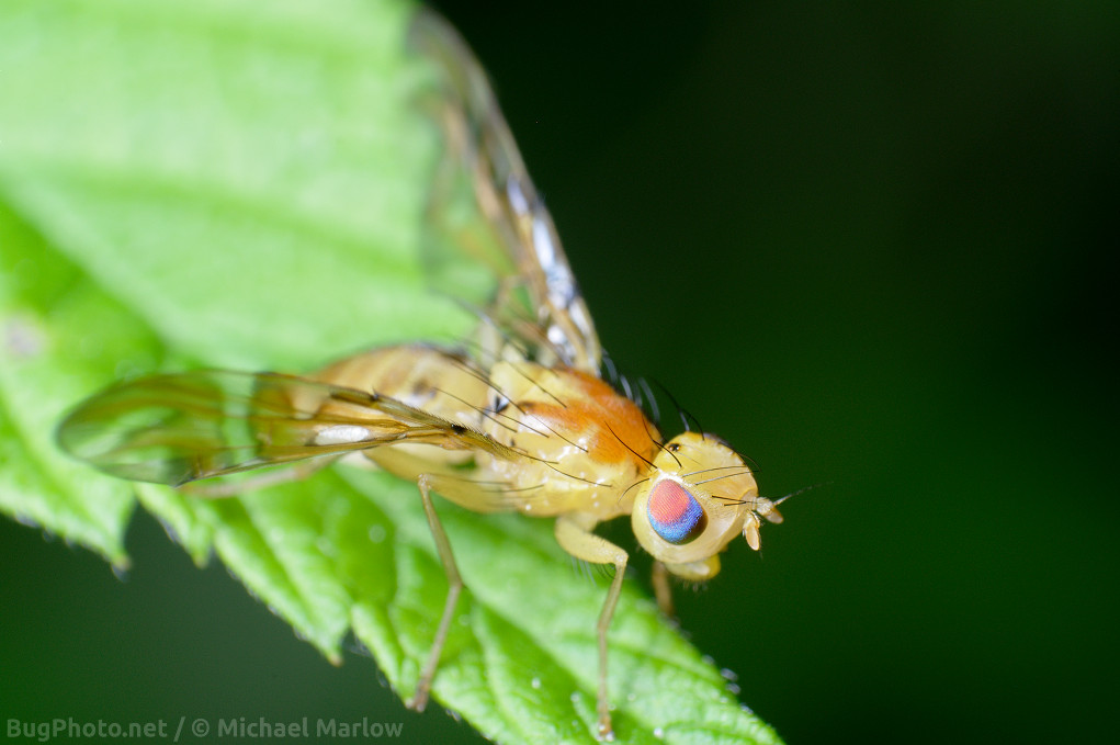 the bright yellow body and multi-colored eye sunflower maggot fruit fly on a leaf