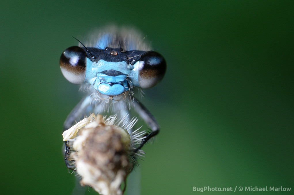 blue damselfly perched on a twig