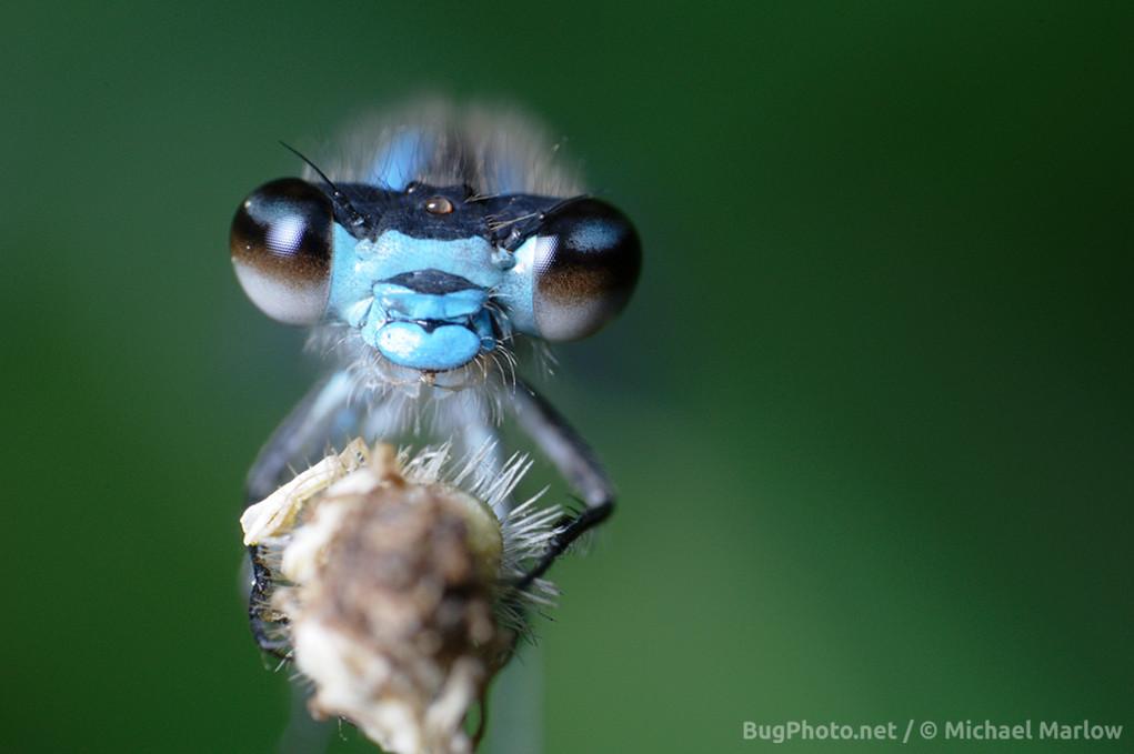 blue damselfly perched on a twig