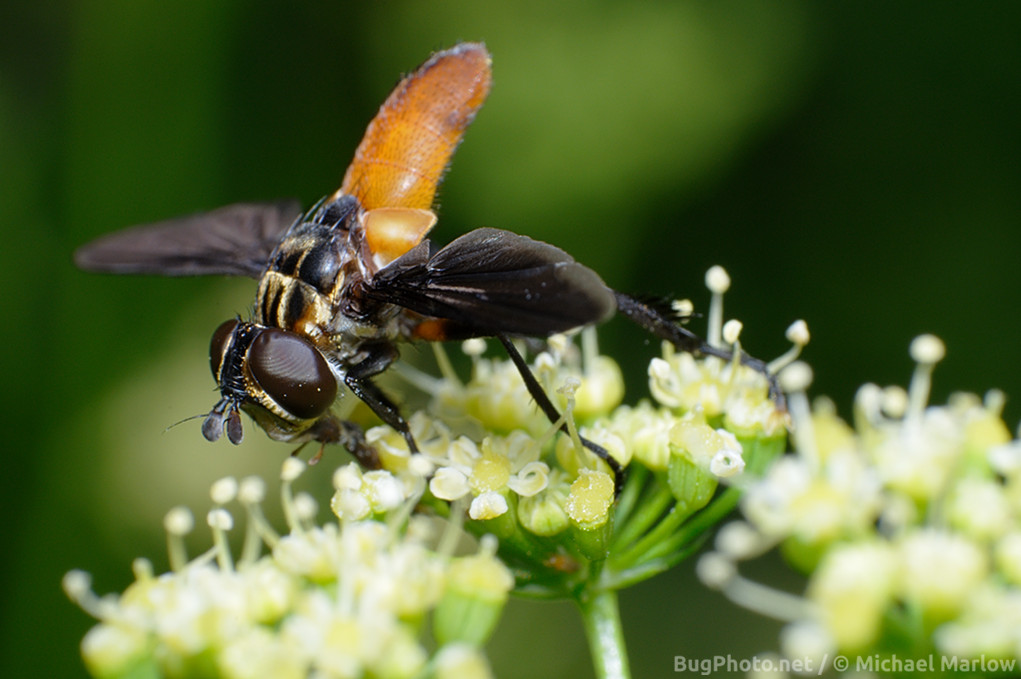 feather-legged tachinid fly on parsley flowers