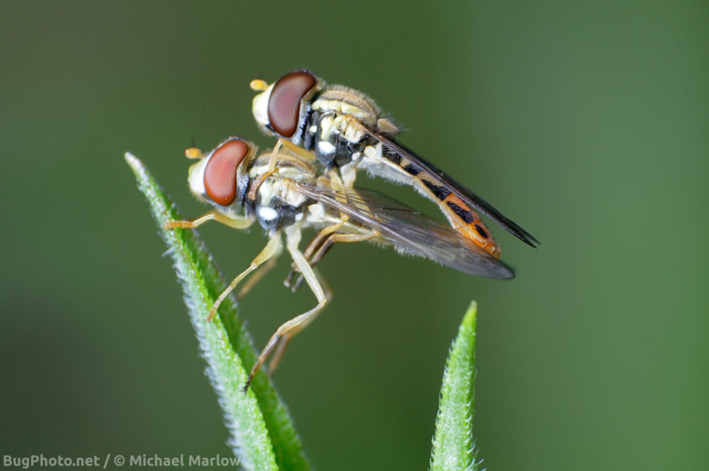 mating syrphid flies perched on a blade of grass