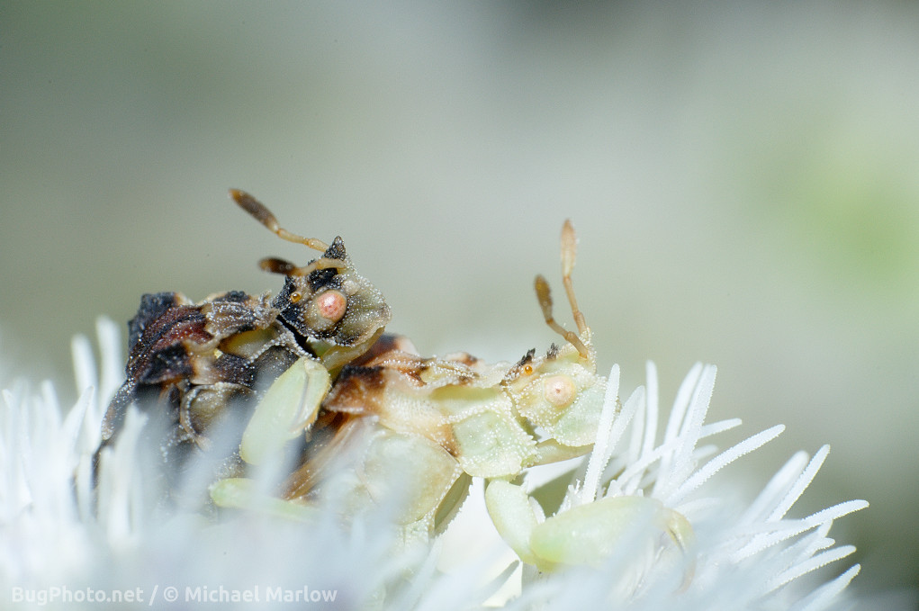 ambush bugs mating