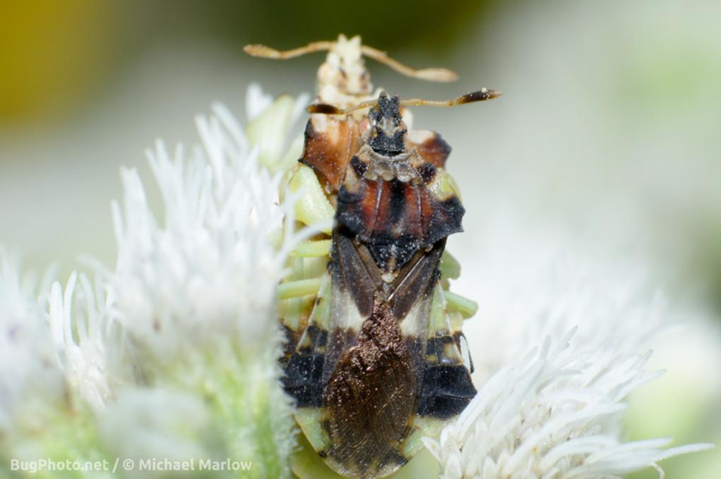 ambush bugs mating