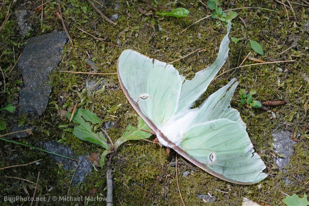 tattered luna moth