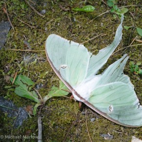 tattered luna moth