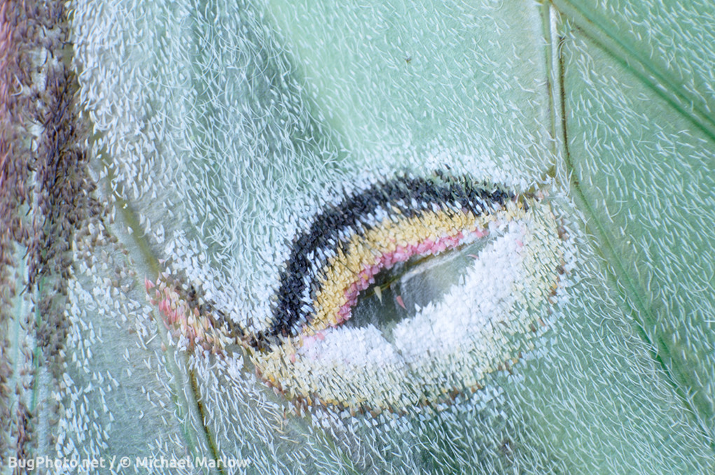 close up of tattered luna moth eyespot