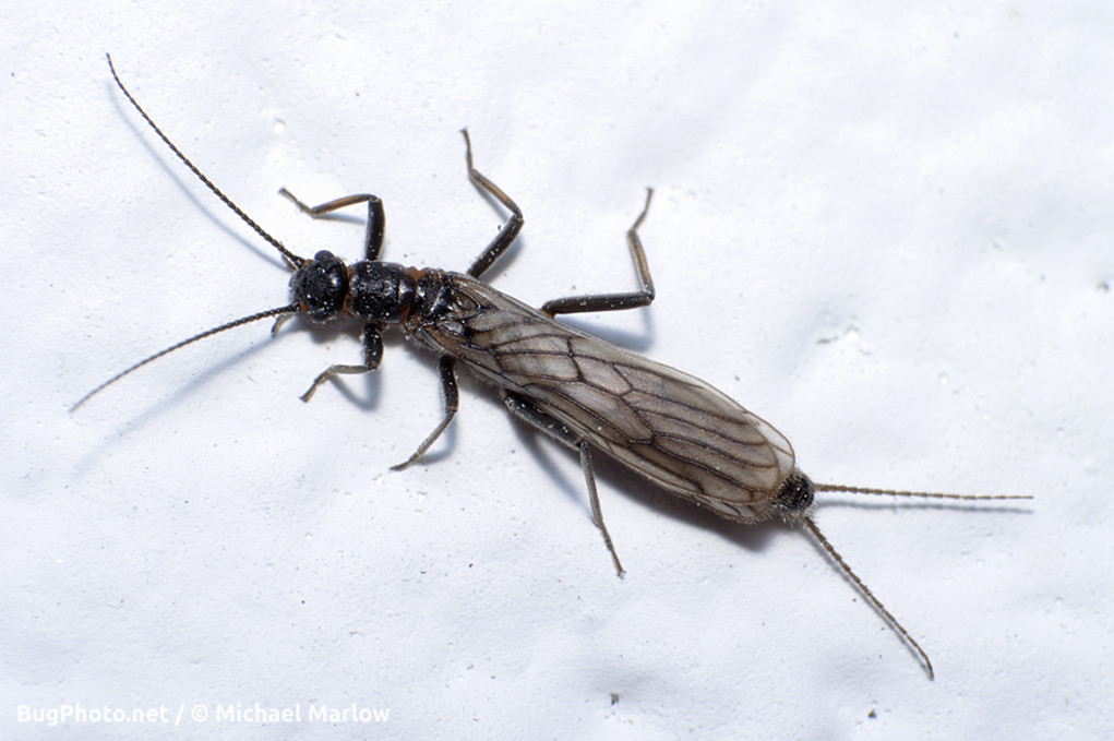 stonefly resting on a white wall
