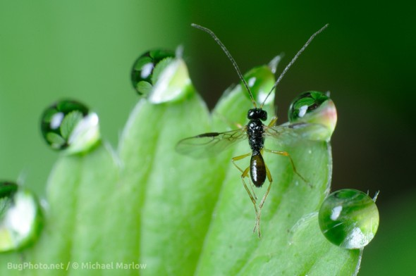 parasitoid wasp on strawberry leaf with multiple dewdrops