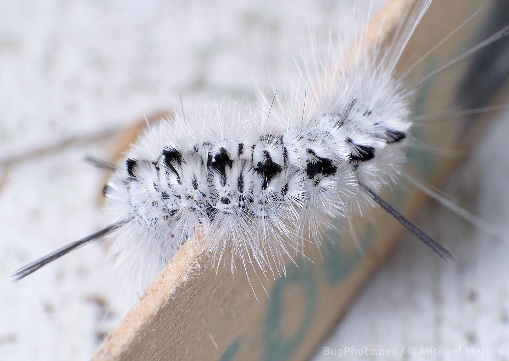 Hickory Tussock moth caterpillar on tongue depressor