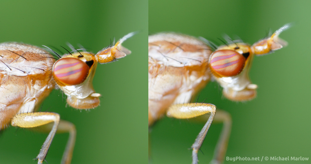 marsh fly depth of field comparison