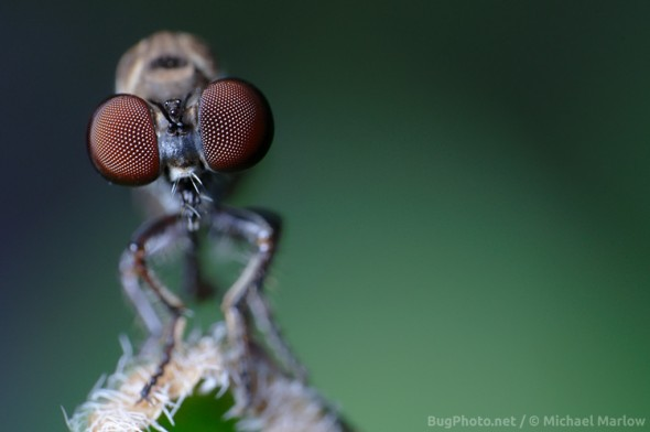Big wide spaced red eyes of Holcocephala species robber fly