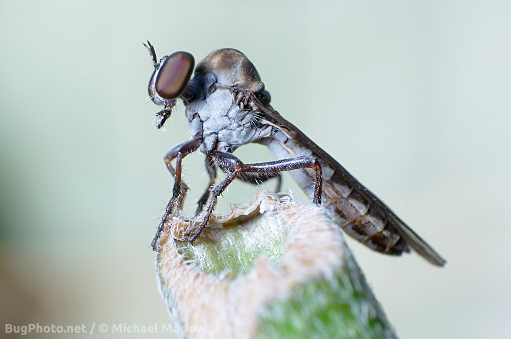 small robber fly perched on gnawed off grass stem