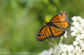 Viceroy Butterfly (Out of Focus)