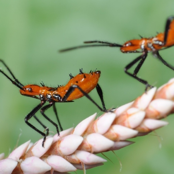 two early instar milkweed assassin bug nymphs