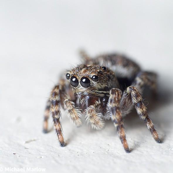 sitticus pubescens jumping spider portrait